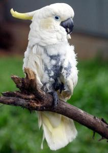 JAKARTA, INDONESIA:  An endangered yellow-crested cockatoo (cacatua sulphurea) is being cared for at a temporary station for animals after it was seized from a resident in Jakarta, 27 February 2004.  The protected yellow-crested cockatoo is endemic in East Indonesia especialy in Sulawesi. The illegal trade of protected animals in Indonesia continues despite law no. 5/1990 on the preservation of flora and fauna. Jakarta is notorius as a center of illegal trade in protected animals, according to Willie Smith, the Gibbon Foundation director.  AFP PHOTO/ADEK BERRY  (Photo credit should read ADEK BERRY/AFP/Getty Images)